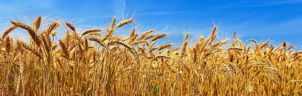 Vente de farine de blé noir à Saligny (85) : Mogette Audureau